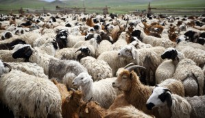sheep-and-goats